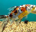 Guldfisk-kat
