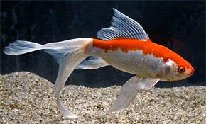 Guldfisk sælges