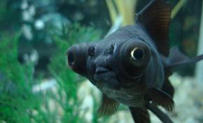 guldfisk til salg